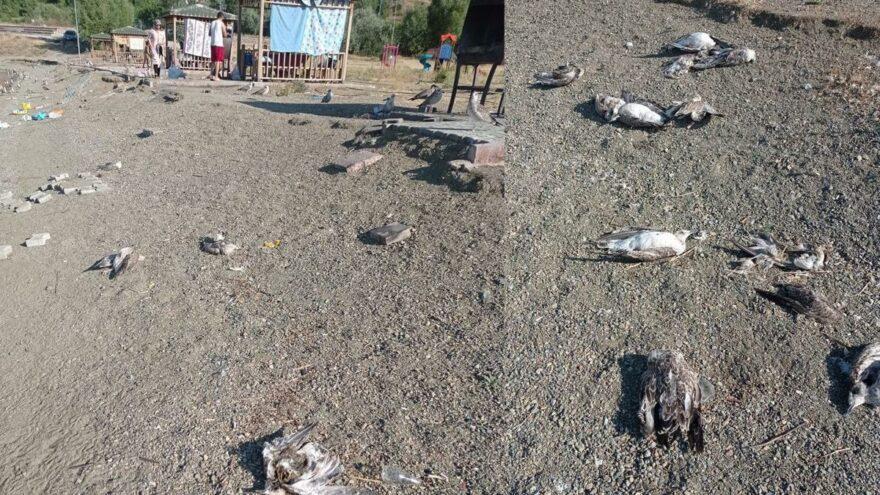 Hazar Gölü'nde toplu martı ölümleri tedirgin etti