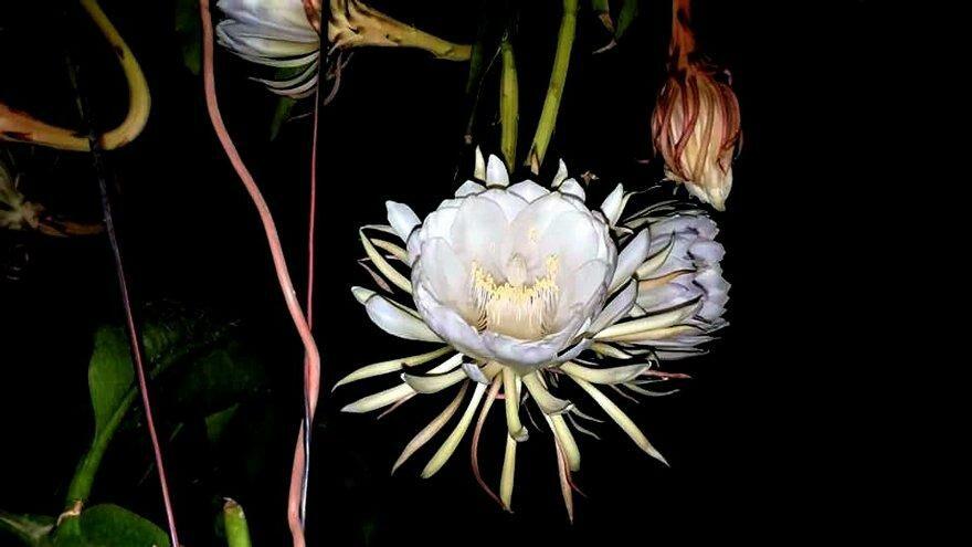 Yılda bir kez açıp 4 saat yaşayan çiçek