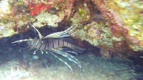 Balon balığından sonra en tehlikelisi... Kıyıdan 5 metre uzaklıkta görüntülendi!