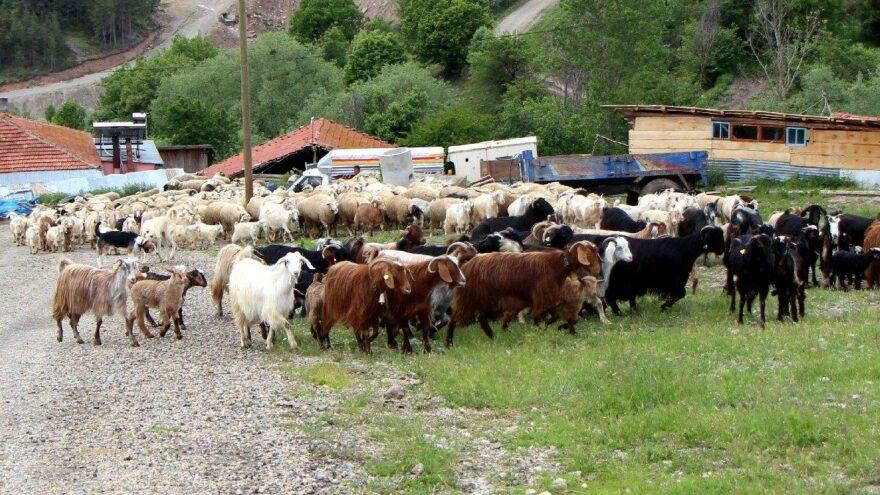 Bolu Ziraat Odası Başkanı: 4 bin 500 lira maaşa çoban bulamıyoruz