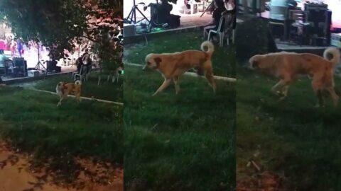 Müziğin ritmine kapılan köpek böyle onadı