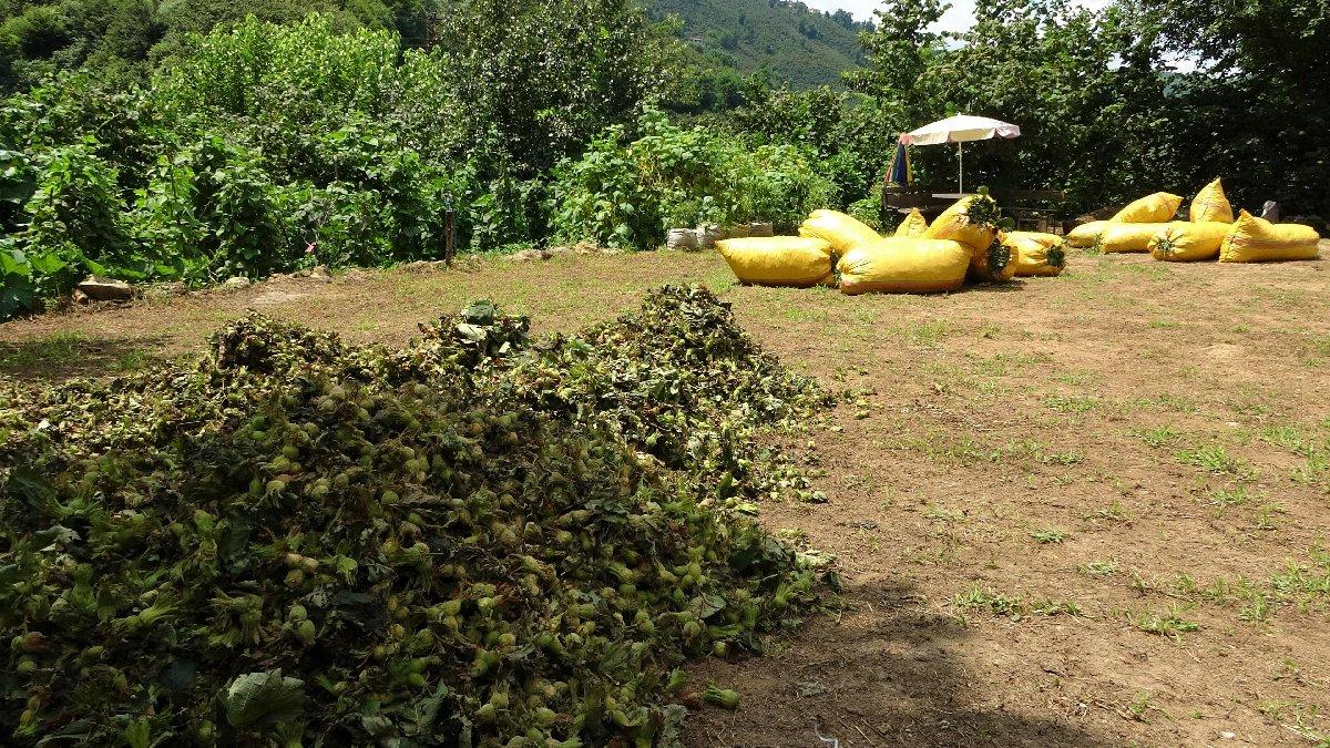 Fındıkta erken hasat başladı: Çiftçi fiyat bekliyor