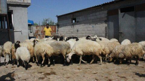 Çaldığı koyunların parasını gazinoda yedi