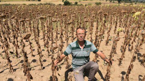 Edirne'de kuraklık ayçiçeğini vurdu