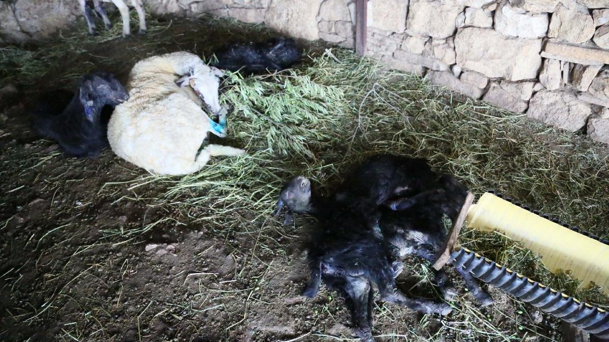 Değirmenli'de yüzlerce koyun yandı, kuzular can çekişiyor