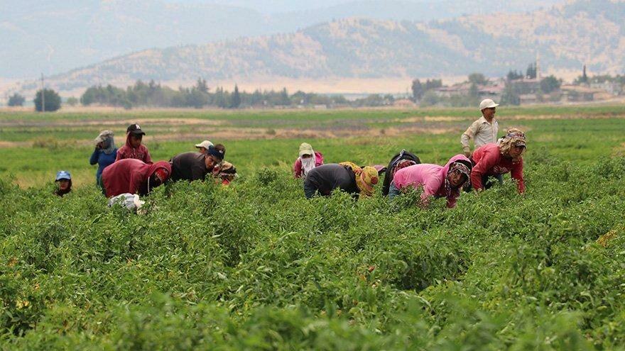 İslahiye'de 'acı' hasat başladı