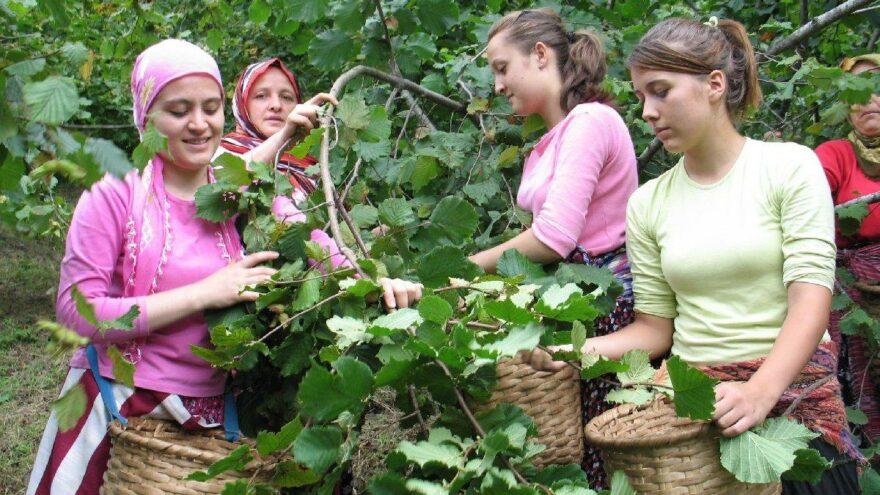Karadeniz'de fındık hasadı başladı: 30 TL'nin altı fiyatı kabul etmeyiz