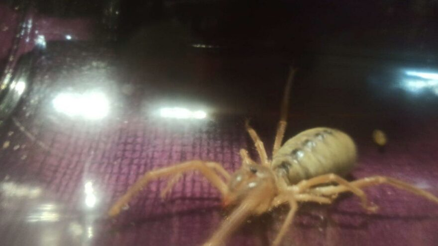 Eskişehir'de 'Sarıkız örümcek' paniği