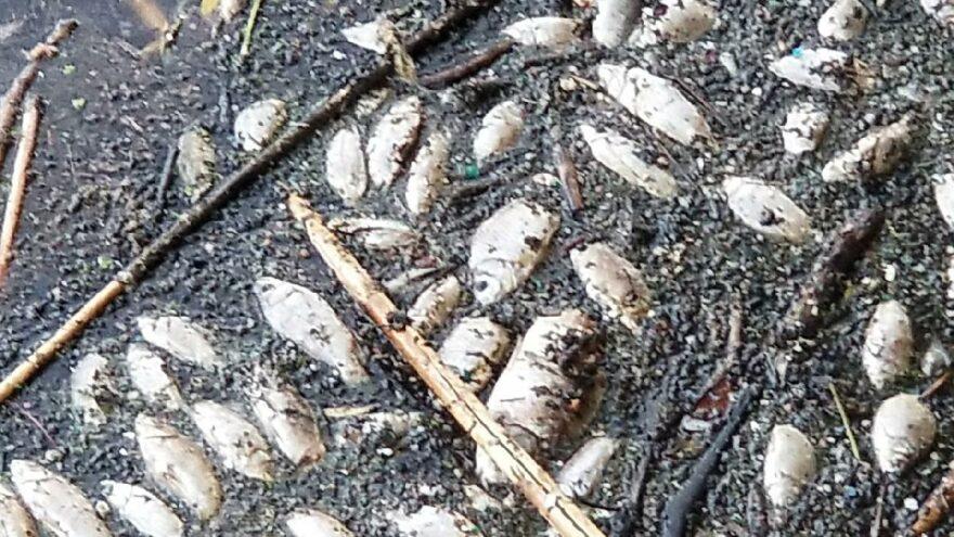 İki ilde korkulan oldu! Su seviyesi düştü, nehrin kenarları balık ölüleriyle doldu