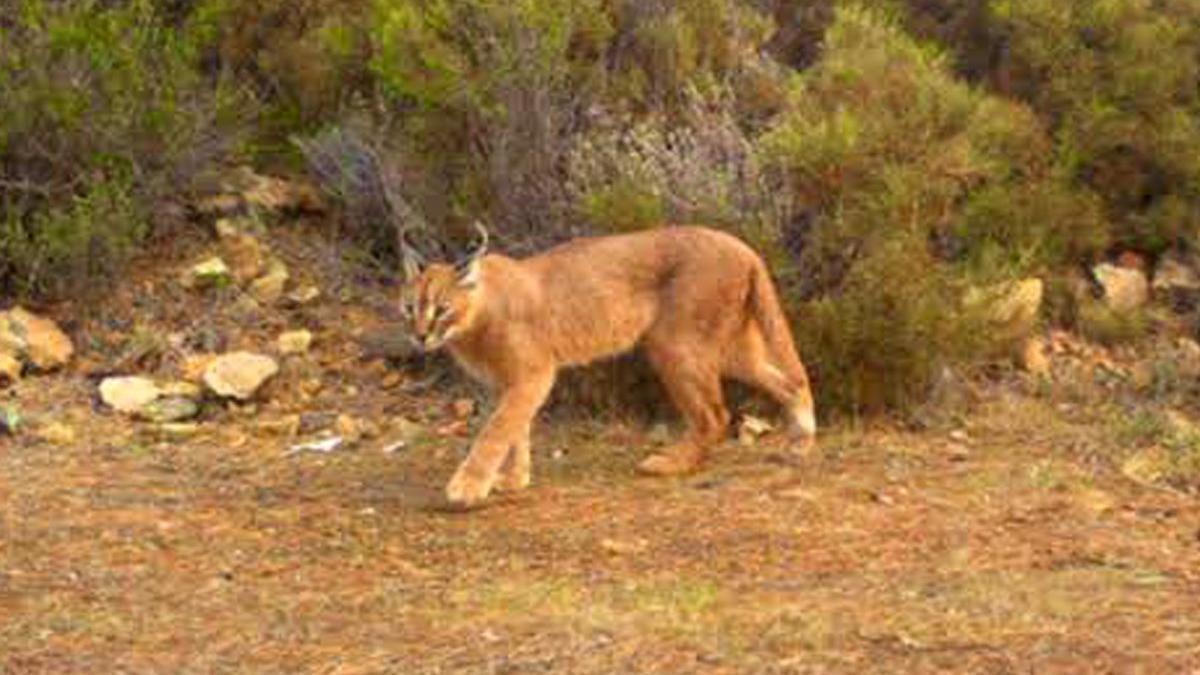 Muğla'da 65 bin hektar yandı; karakulak ve yaban kedisi ormanı yok oluyor