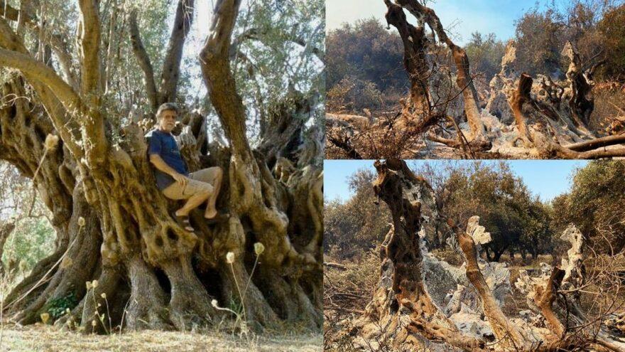 Tarihçi ve Filozof Strabon'un kayda geçirdiği 2 bin 500 yıllık zeytin ağacı kül oldu