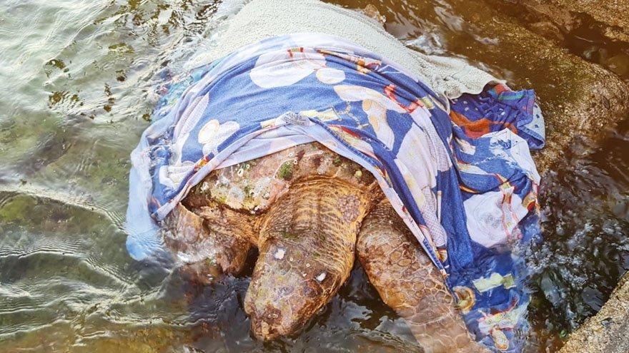 Yaralı kaplumbağa için seferber oldular