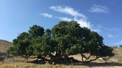 2 bin yıllık olduğuna inanılan dut ağacı efsanelere konu oldu