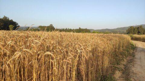 Buğday üretiminde tehlike çanları çalıyor: Kuraklık ve ithalat sebebiyle yüksek gıda fiyatları yolda