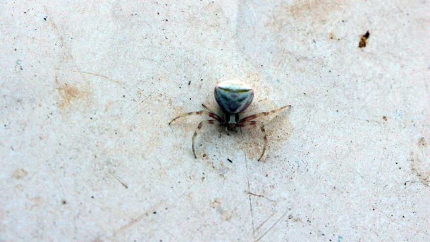 Yozgat'ta insan yüzlü örümcek görüntülendi