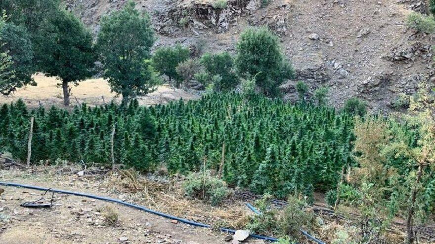 Geniş tarlalarda üretmişler: 665 kilo uyuşturucu ele geçirildi