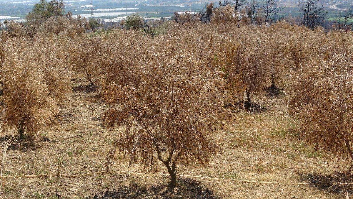 Manavgat'ta 500 bin zeytin ağacı yandı