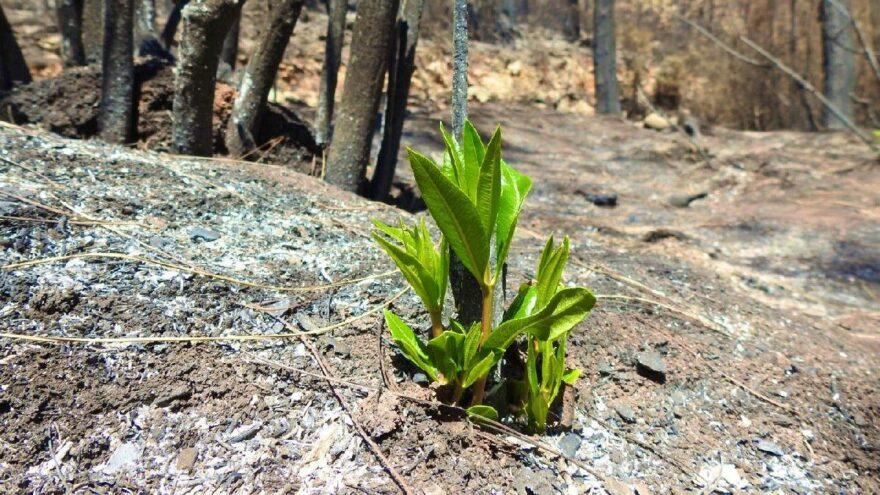 Muğla'da yanan ormanlar küllerinden yeniden doğuyor