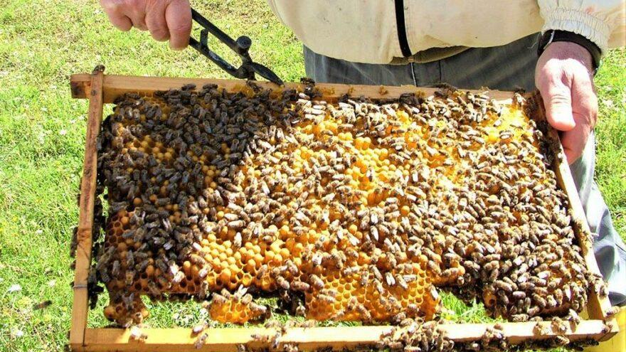 Arılar açlıkla karşı karşıya, 100 milyon dolarlık kayıp var