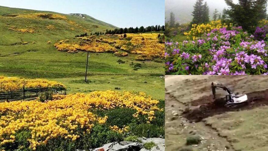 Mera yapmak için yayladaki endemik çiçekleri söktüler