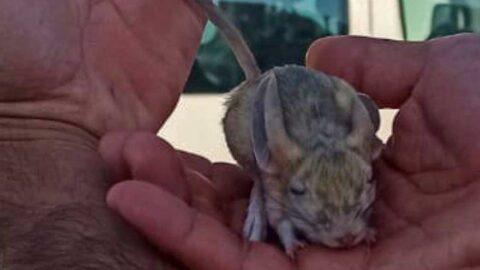 Elazığ'da Arap tavşanı bulundu: Türü tehlike altında