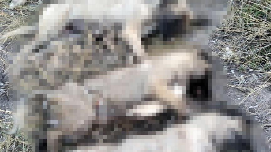 Ankara'da 5 köpek ölü bulundu