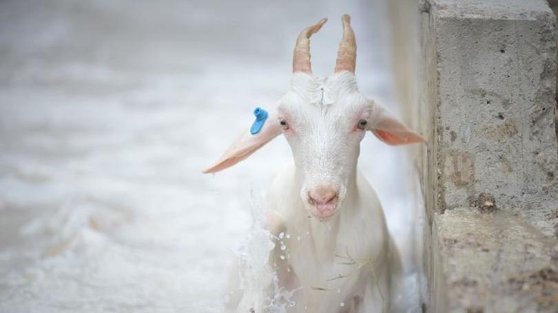 Dersimiz koyunlara dış parazit banyosu