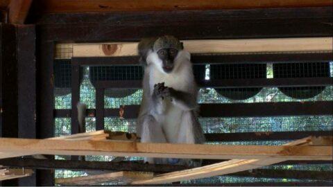 Aslandan korkup kaçan maymun yakalandı