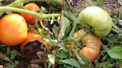 Hibrit tohumlu domatesler çürüdü, yerli tohumlular büyüdü