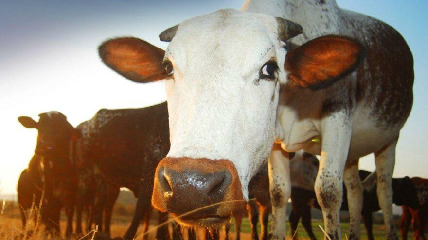 Brezilya'da deli dana paniği: Çin et ithalatını durdurdu