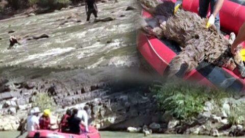 Zap Suyu'nda sürüklenen ayıyı rafting ekibi kurtardı ama...