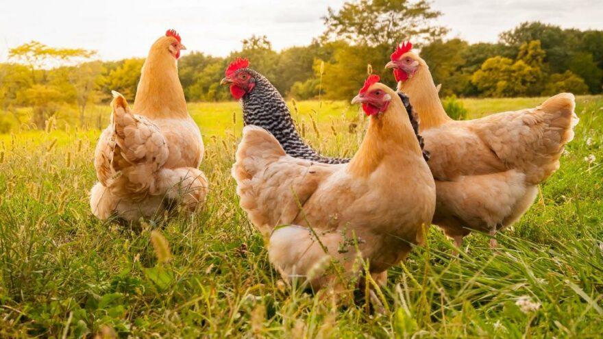 Türkiye'nin tavuk eti üretimi azaldı