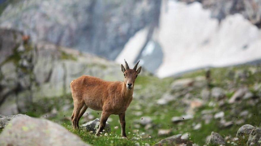 Mahkeme yaban keçilerinin avlanma ihalesini iptal etti