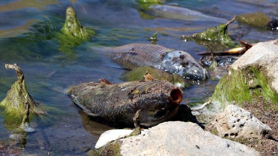 Baraj gölünde korkutan balık ölümleri