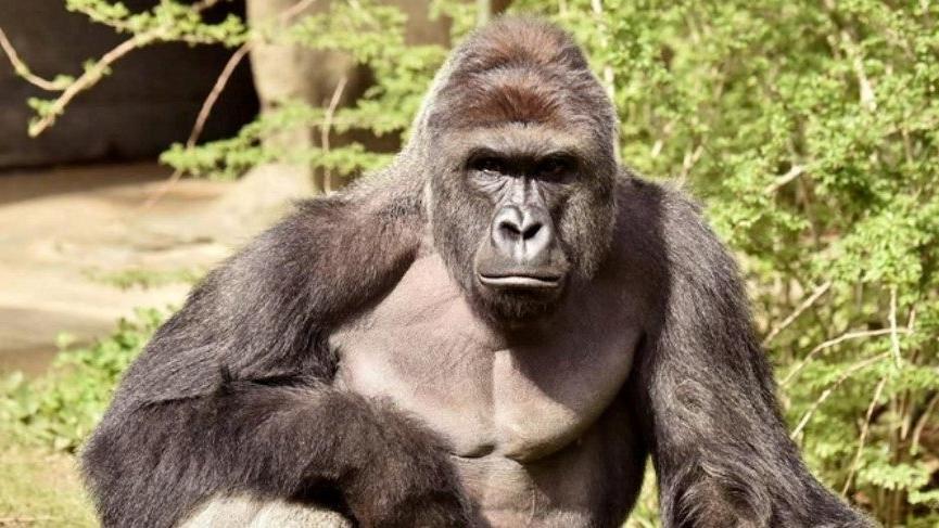 Hayvanat bahçesindeki 13 goril Covid-19'a yakalandı