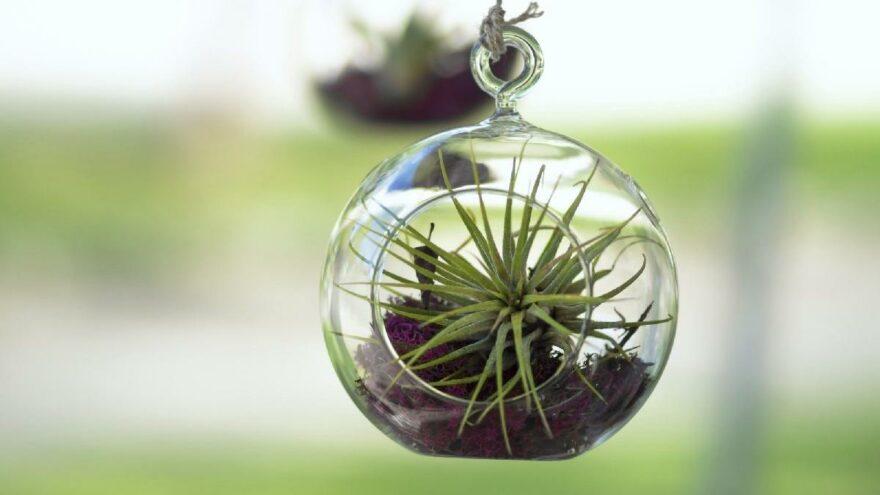 Hava bitkisi (air plant) nedir, evde hava bitkisi nasıl yetiştirilir?