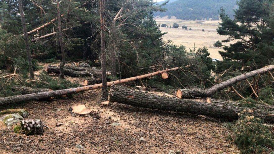 Ayman yaylasına taş ocağı için ağaç kesimi başladı: 1500 ağaç kesilecek