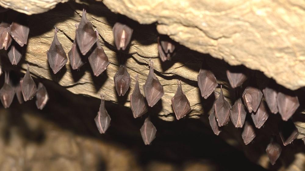 Bilim insanlarından korkutan keşif: Covid-19'un en yakın türü yarasa mağarasında bulundu