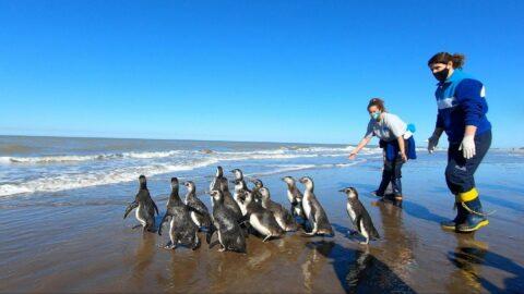 Kurtarılan 14 penguen okyanusa bırakıldı