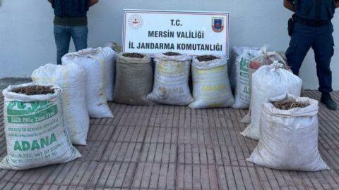 'Pes' dedirten hırsızlık: Çam kozalağı tohumunu çaldılar