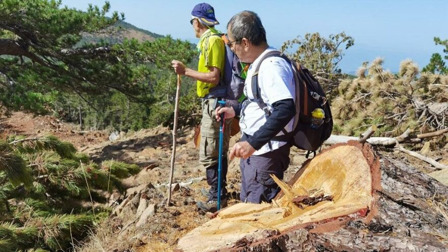 Muğla Sandras'taki ağaç kesimlerini çevreciler ortaya çıkardı