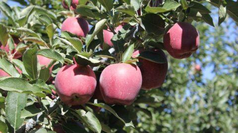 Dalında 2,5 liraya kadar alınan elmanın marketlerde 7-8 lira arasında satılmasına tepki