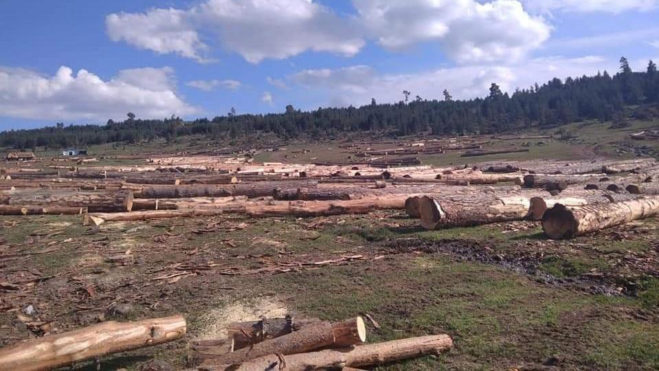 Binlerce sarıçam kesiliyor... Köylüler orman katliamına karşı eylem kararı aldı