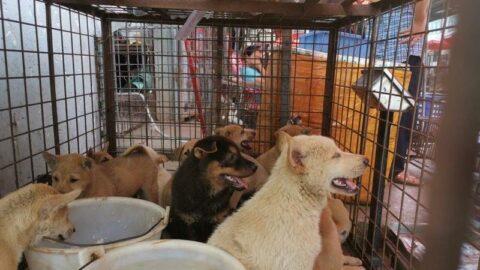 Güney Kore'de köpek etinin yasaklanması gündemde