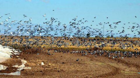 Binlerce kuş hasadı yapılan tahıl yığınlarını mesken tuttu