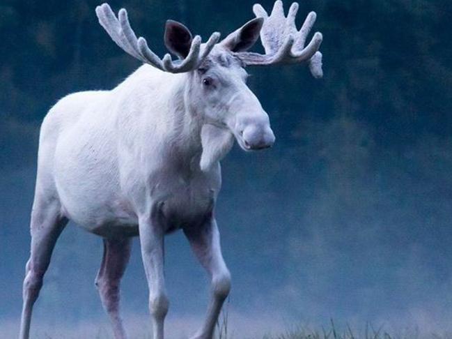 Nadir görülen beyaz geyik polis tarafından vurularak öldürüldü