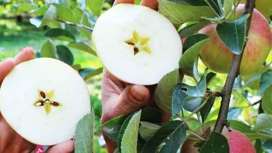 Kesinci yıldızlaşan elma
