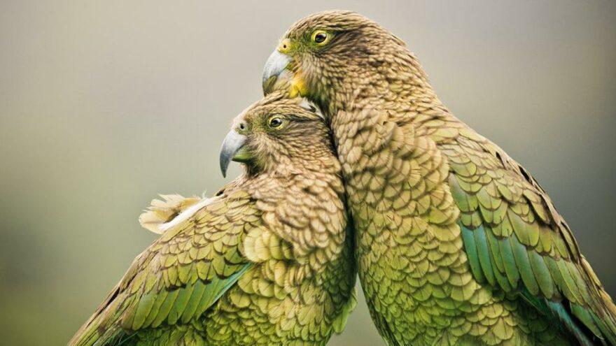 Nesli tükenmekte olan kuşlara dokunmatik ekran kullanmayı öğrettiler