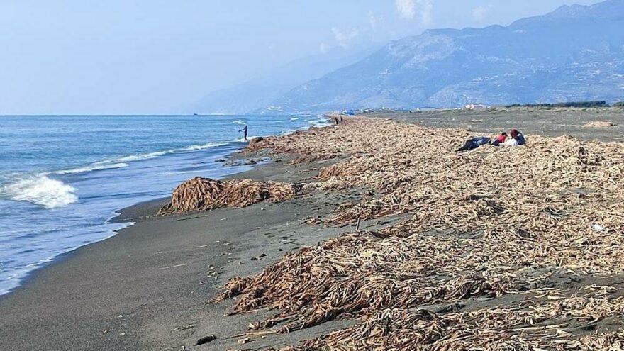Samandağ sahilinde 'su sümbülleri' krizi