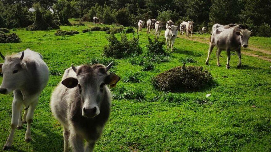 Dananın saldırısına uğrayan çiftçi hayatını kaybetti